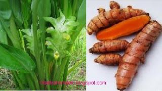 Obat Bahan Alam ( Natural Medicine): KUNYIT