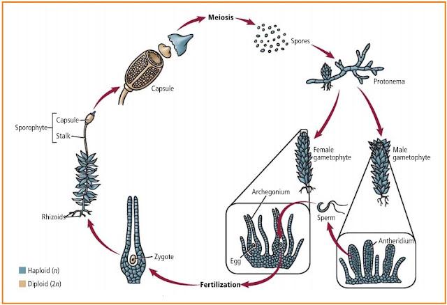 Detail Metagenesis Lumut (Bryophyta)