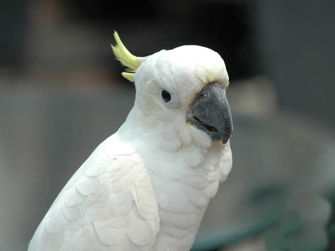 Cute White Parrots Wallpapers White Parrot Wallpaper Indian