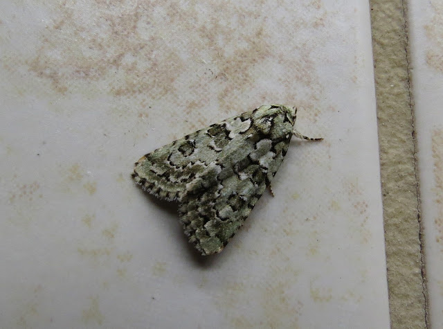 Marbled Green - Scilly