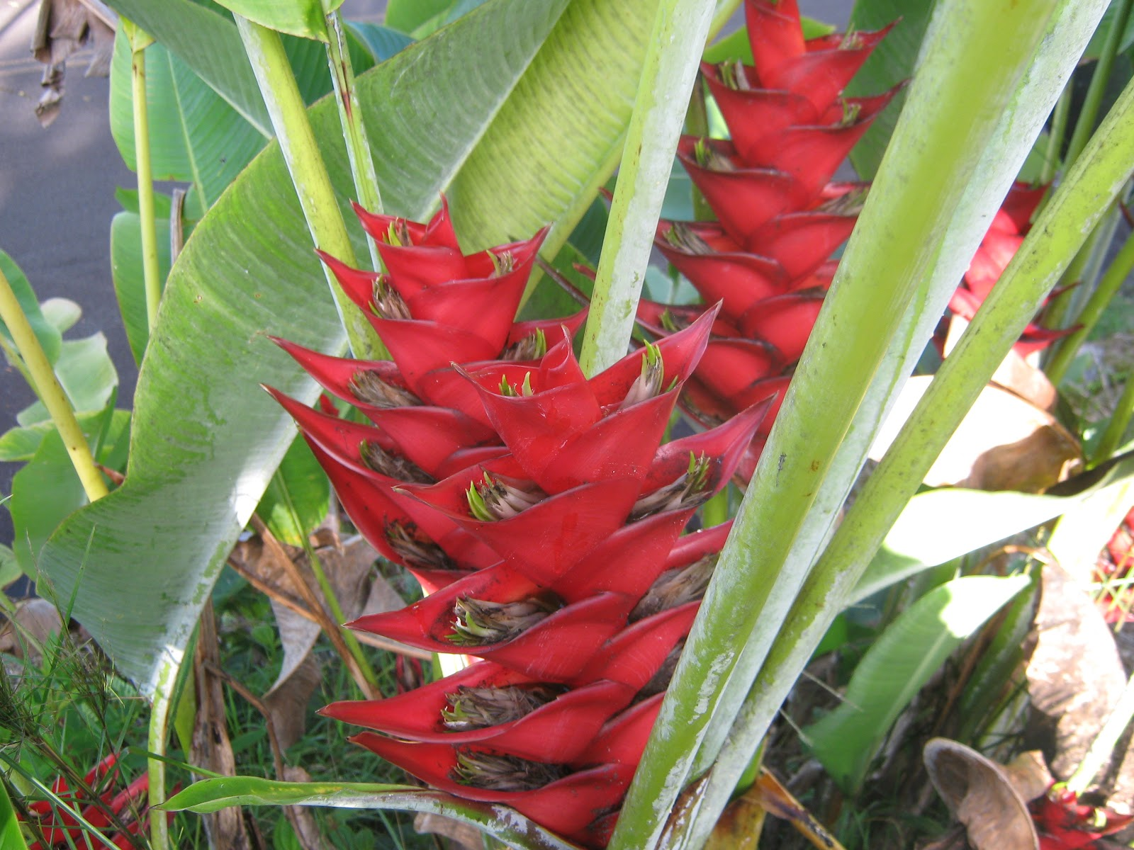Garden guy hawaii tropical favorites lastly in the plant order zingiberales there are over 100 different species of heliconia flowers they produce some of the most beautiful and commercially dhlflorist Images