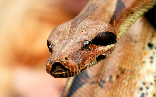 Close up photo of the head of a snake or portrait picture of a snake