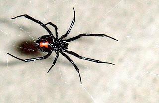 black widow spider web latrodectus fact poisonous animal arachnida wallpaper