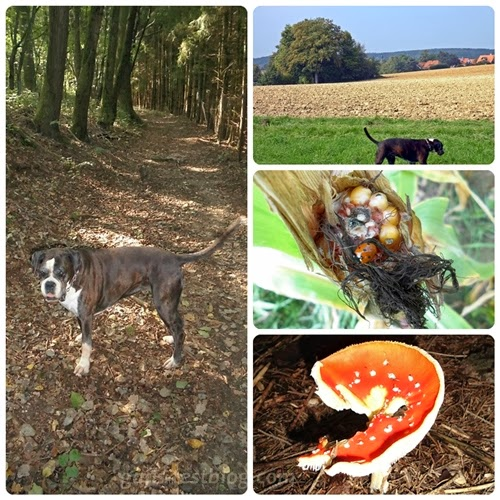 Boxer, Wald, Flur, Maiskolben mit Marienkäfer und Steinpilz