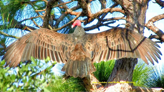 Turkey Vulture Wings and Wingspan