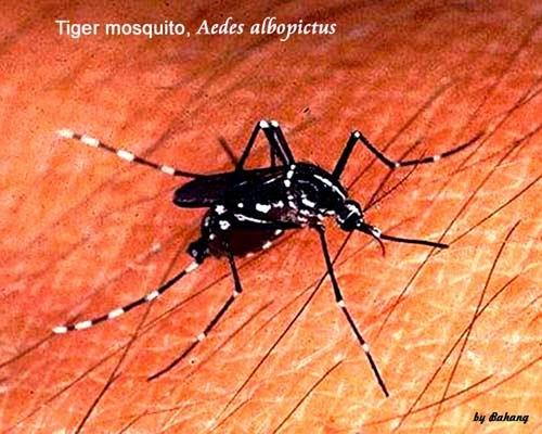 Pengobatan Tradisional Penyakit Chikungunya