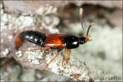 Īsspārnis Bolitobius cingulatus