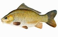 Umpan Putih Untuk Mancing Ikan Mas