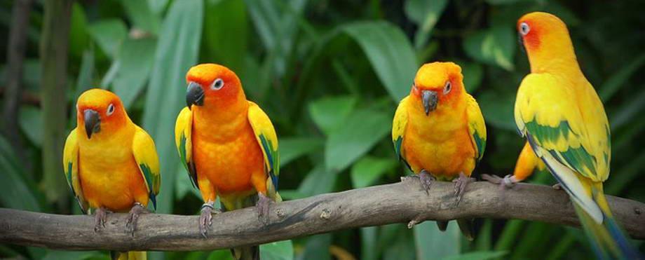 Bisnis Budidaya Ternak Burung Love Bird