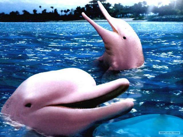 lumba-lumba albino yang sangat langka-6