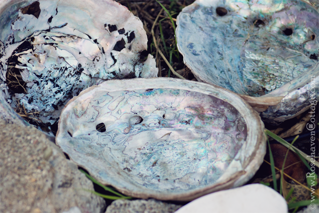 Abalone shells used to catch water for wildlife