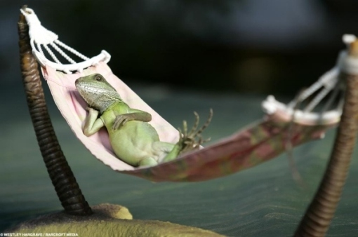 foto unik binatang kadal