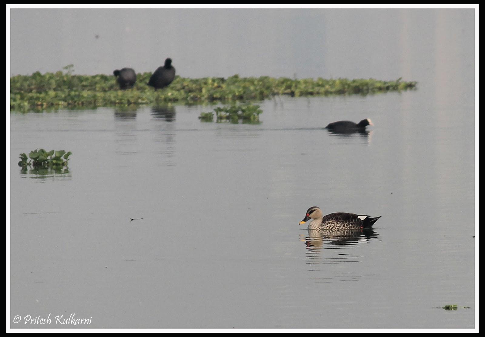 Spot-bill Duck