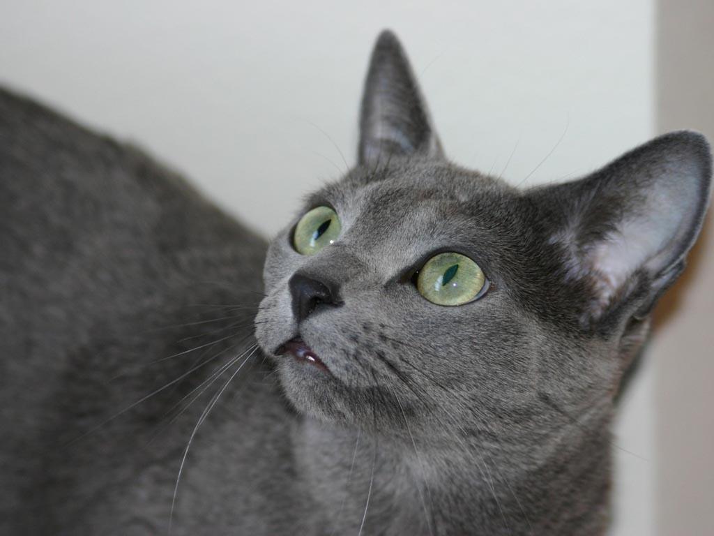 Русская голубая кошка 5