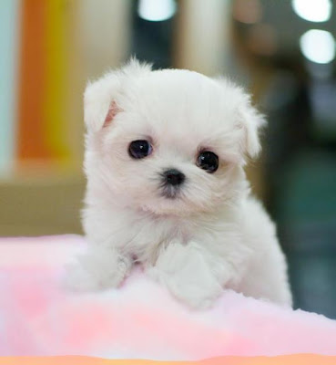 Cute Dogs|Pets: Cute Little Maltese Puppies and Dogs