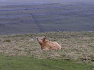 Highland cow above Malham