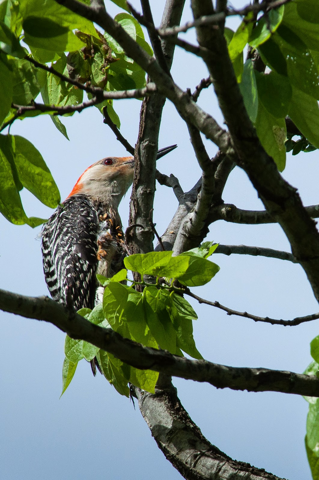 Red-bellied Woodpecker, Kachina Prairie Park