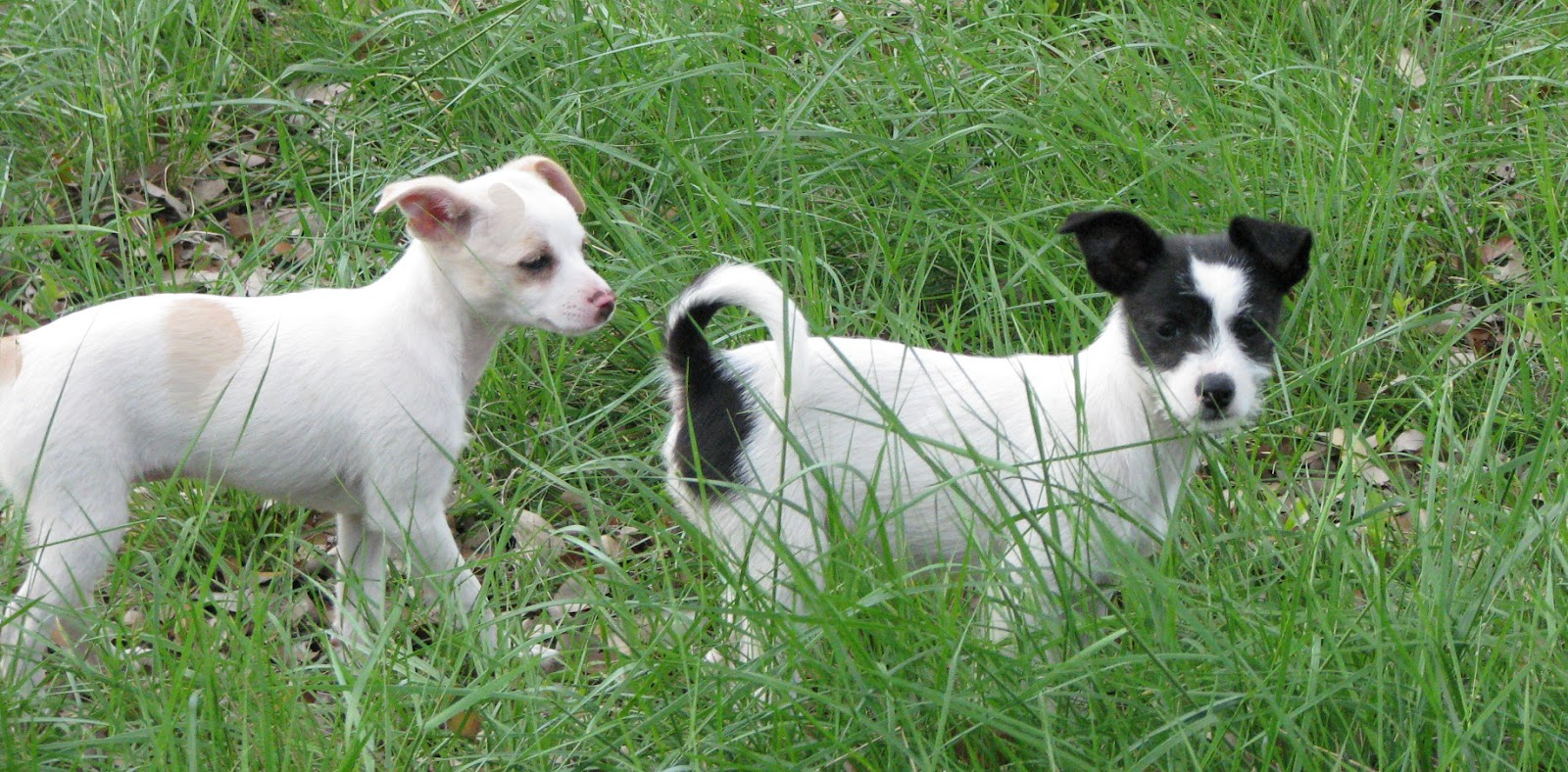 Chihuahua Beagle Mix - Dog Training Home | Dog Types