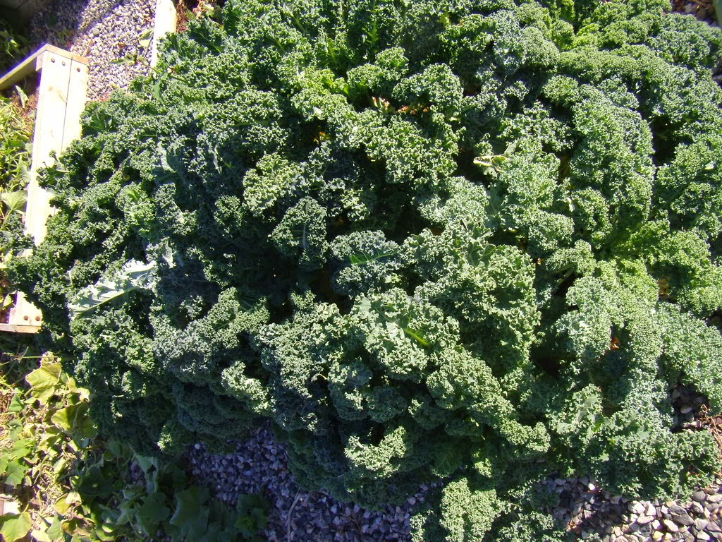 Fresh Kale, dark green with curly leaves