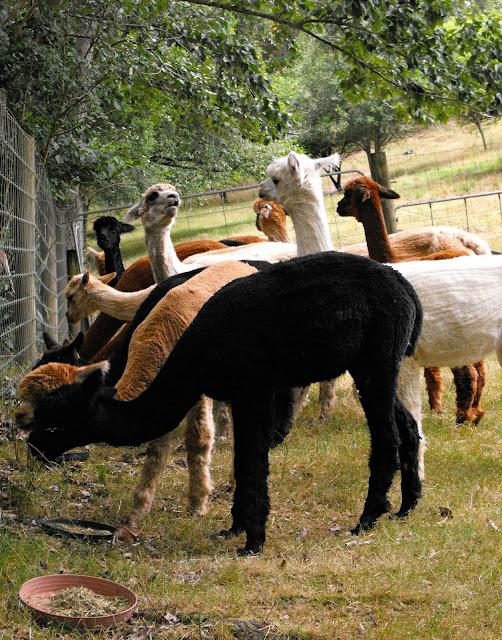 Feeding time for the alpacas