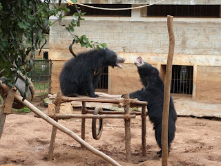 Squabbling broke out between the rescued bears over enrichment