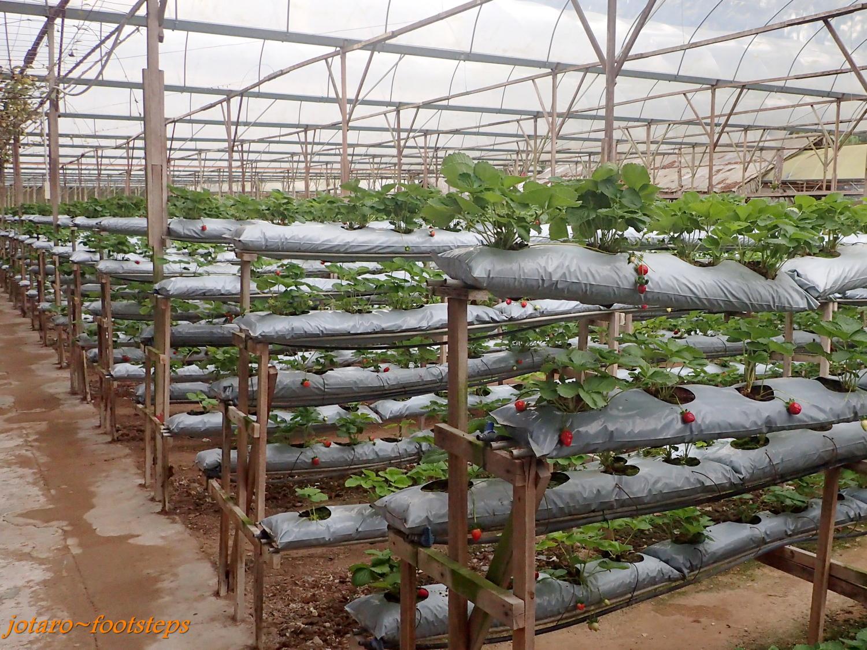 Способы выращивания клубники круглый год 31