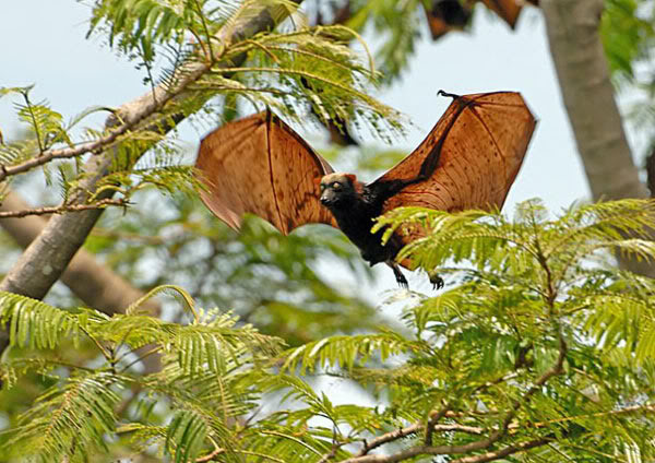 Philippine Giant golden-crowned flying fox: Mega Bat | The Collective ...