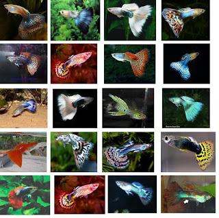 Pengenalan Ikan Guppy (Gapi)