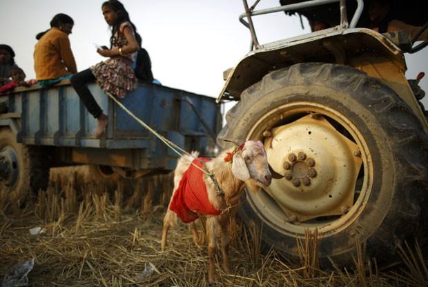 Cabra que será usada em sacrifício é vista presa a veículo no Nepal na noite desta quinta-feira (27) (Foto: Navesh Chitrakar/Reuters)