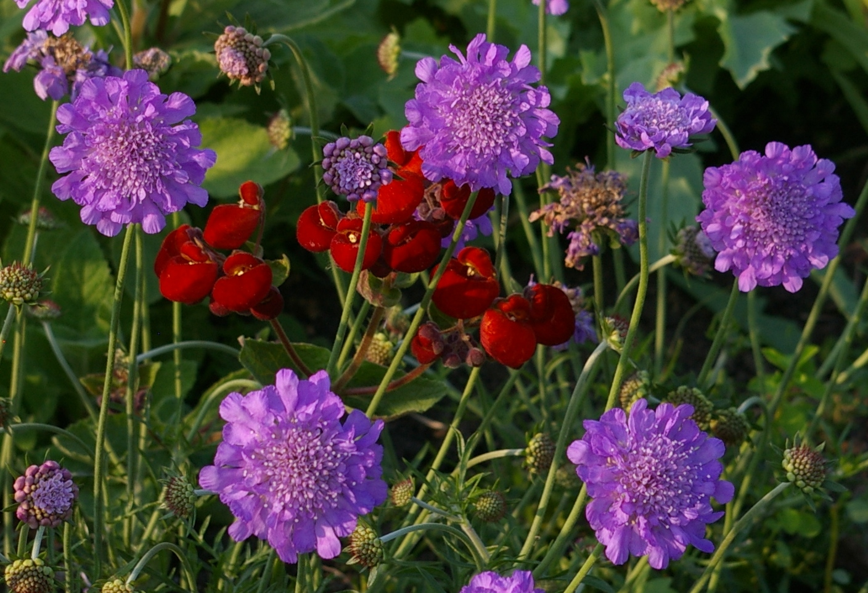 Посадка цветов скабиоза фото