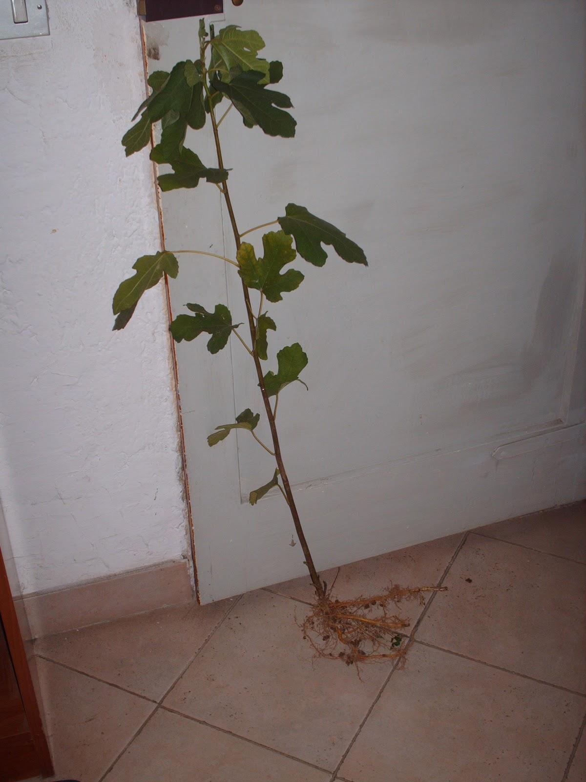 Orticello di casa pianta di fico for Pianta di fico prezzo