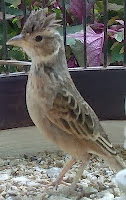 Burung Branjangan Malas Berbunyi
