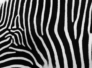 Zebra Fur Skin Texture HD Wallpaper