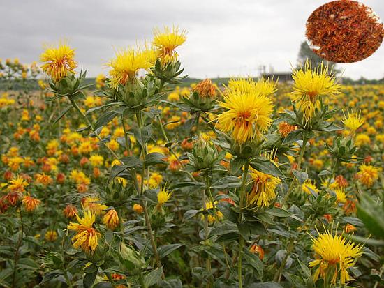 Carthamus tinctorius L. (Fam. Asteraceae)