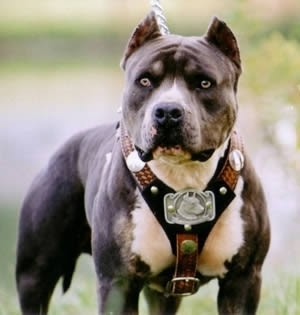 American Pitbull Terrier Hd Wallpaper Golden Pics
