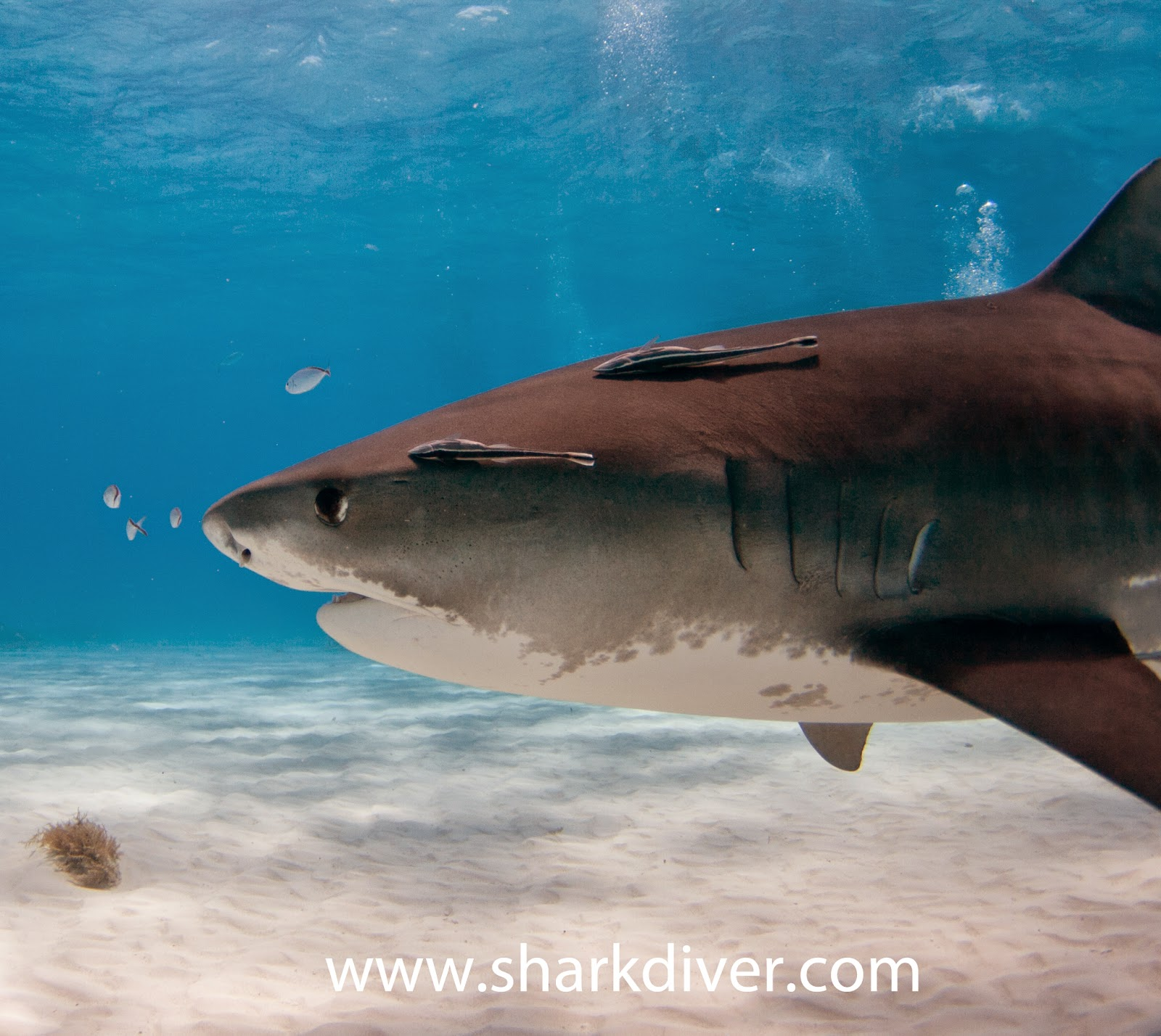 tiger shark vs. great white essay A comparison of tiger sharks and great white shark pages 2 words 1,148 view full essay more essays like this:  sign up to view the complete essay.