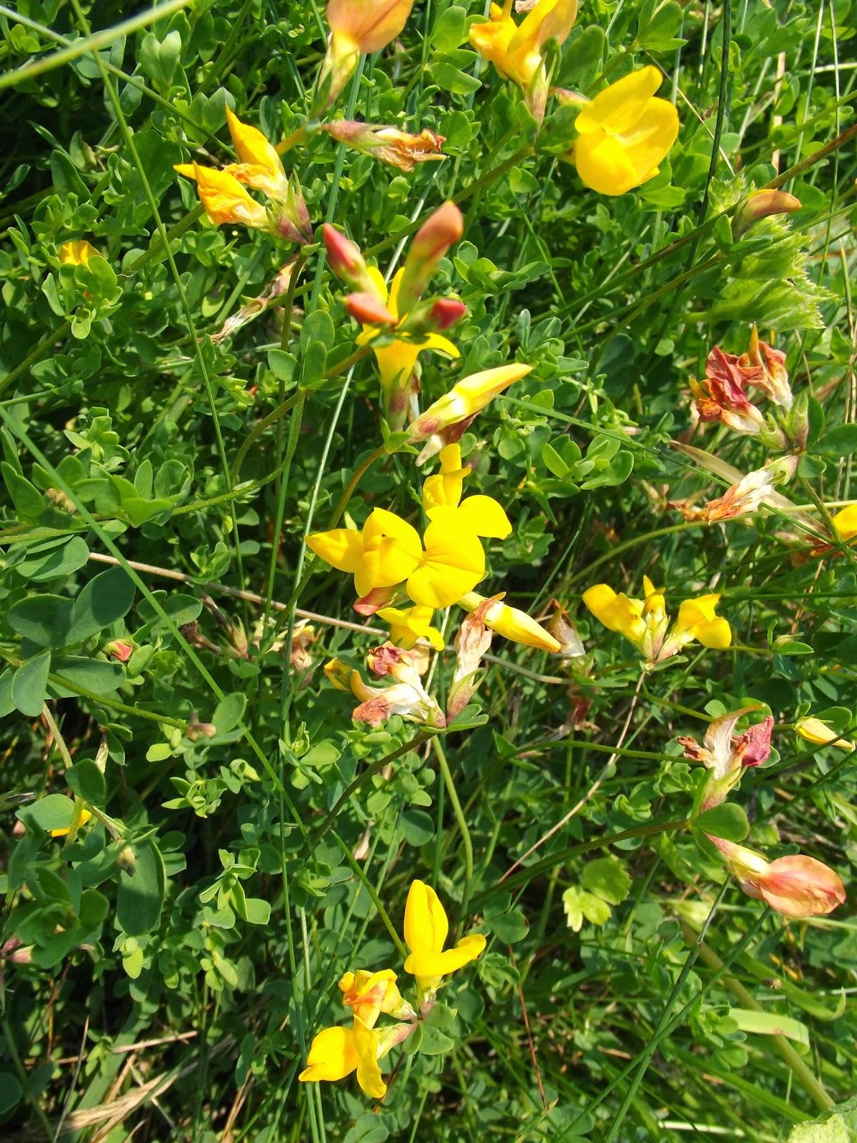 Endon Wildlife Wild Flowers Of Endon