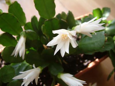 Plantas de interior - Hatiora xgraeseri