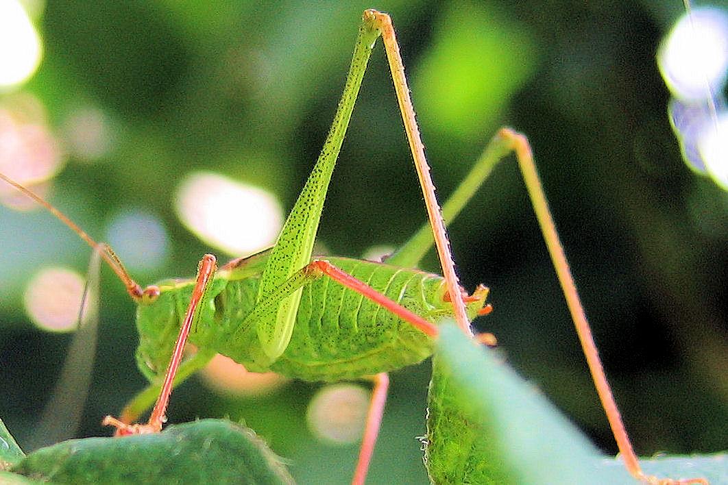 Sneuper groene sabelsprinkhaan met mijn beperkte vlinderkennis en wat speurwerk op internet kom ik uit op een grote of kleine groene sabelsprinkhaan krekels worden ook wel de altavistaventures Image collections