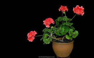 http://fotobabij.blogspot.com/2015/03/pelargonia-w-glinianej-donicy.html