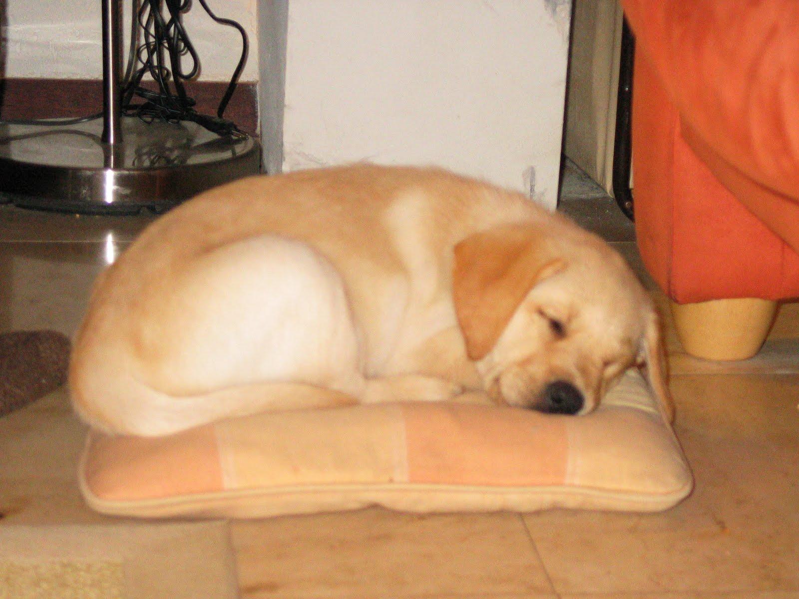 Ginny, hulphond in opleiding: 2011/08