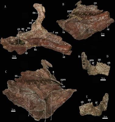 Zhuchengceratops skull