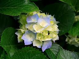 Bunga Gambar Bunga Nusa Indah