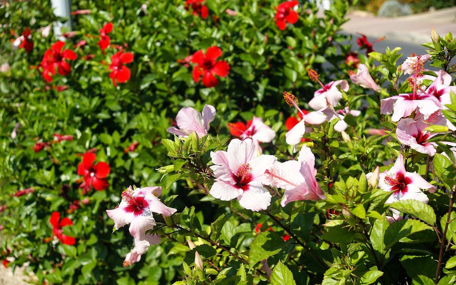 Stunning Culture Hibiscus De Jardin Pictures - Matkin.info ...