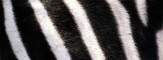 zebra black and white shades COVER PHOTO FOR FACEBOOK