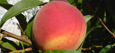 2015 Parker County Peach Festival in Historic Downtown Weatherford Texas Features Peachy Treats and Peach Pedal Bike Ride