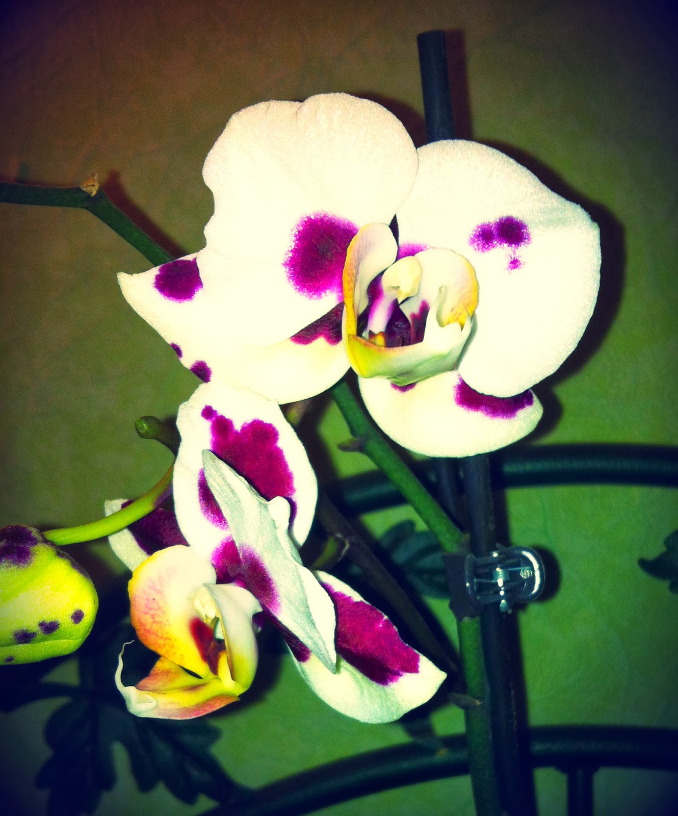 initiales gg jardin comment faire refleurir une orchid e. Black Bedroom Furniture Sets. Home Design Ideas