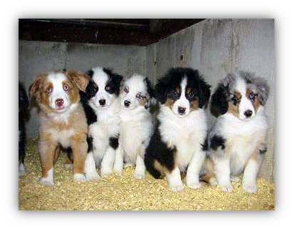 Cute Aussie Australian Shepherd Puppies Photos