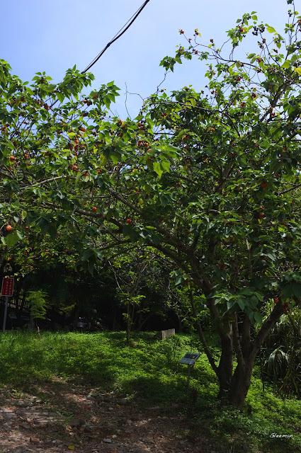 構樹上及附近也是蝶兒們常來拜訪的地方。