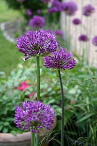 gartentipps allium aflatunense 39 purple sensation. Black Bedroom Furniture Sets. Home Design Ideas